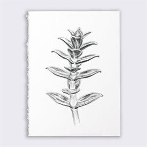 Salicorne, dessin au graphite